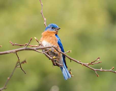 树枝上的蓝色鸟图片