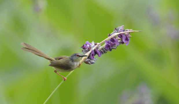 黄腹鹪莺鸟类图片