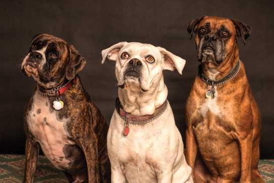 成年英国斗牛犬图片
