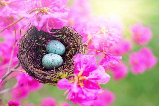 鸟巢中的鸟蛋图片