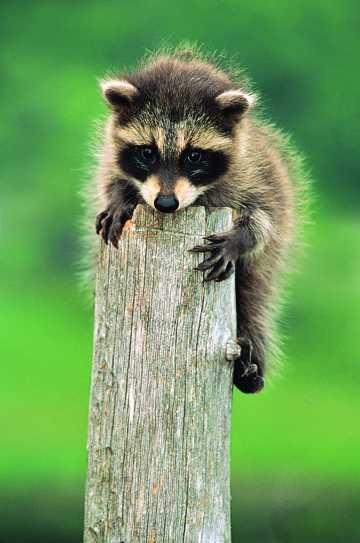 趴在木头上的小浣熊图片