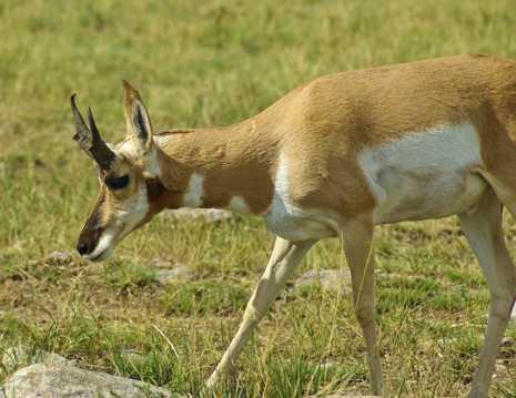 叉角山羚羊图片