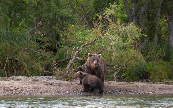 河畔的棕熊图片