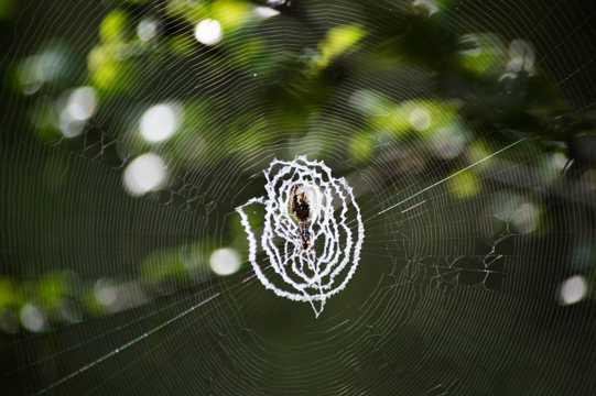 蜘蛛吐织网图片