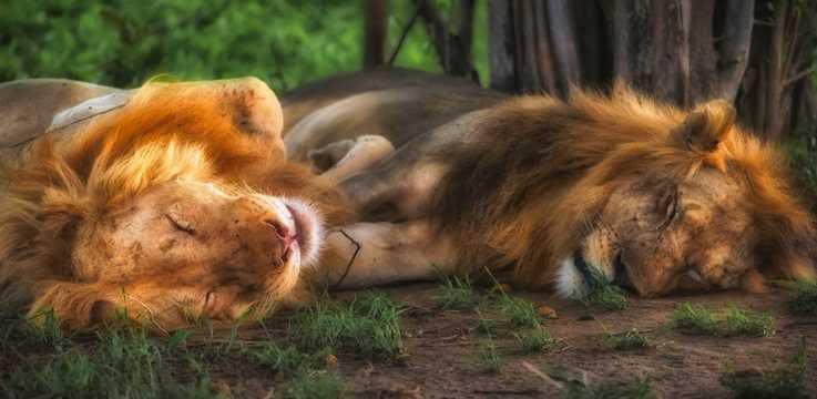 两只睡着的狮子图片