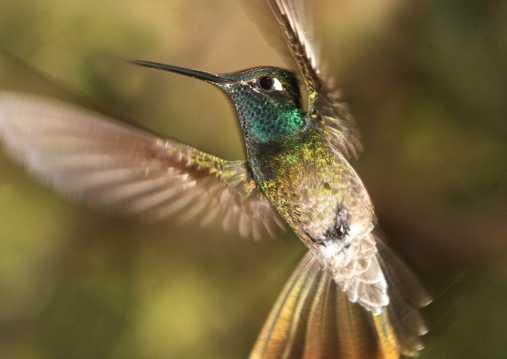 绿喉蜂鸟图片