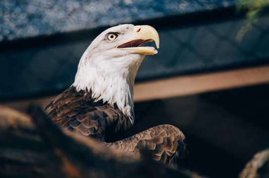 凶猛老鹰头部特写图片