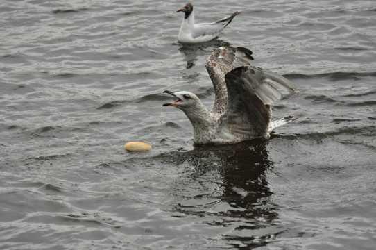 海鸥水中猎食图片