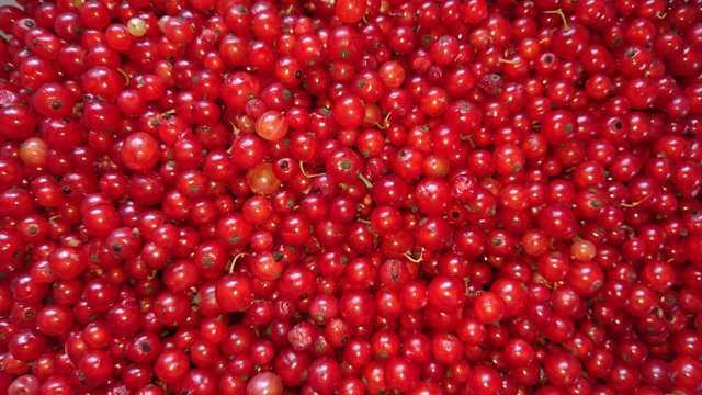 红色新鲜的红醋栗图片