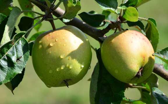 枝头绿色苹果图片