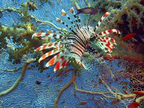 色彩斑斓的狮子鱼图片