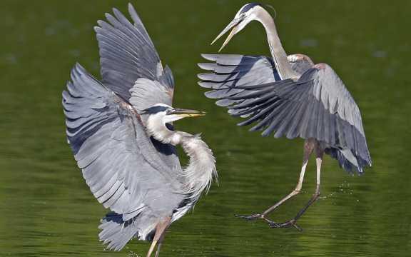 黑冠白颈鹭图片