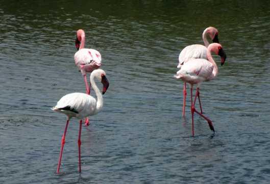 湖中火烈鸟图片