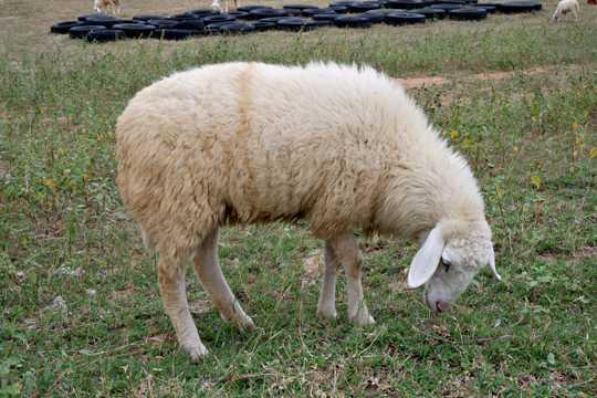 草原上吃草的绵羊图片
