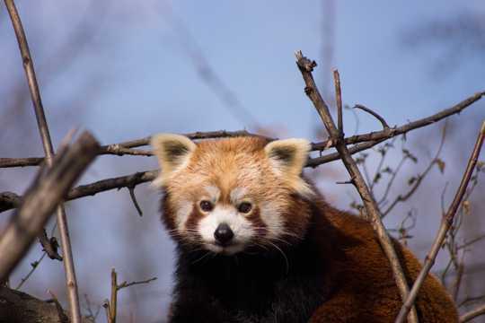 日本家养小熊猫图片