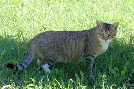 虎斑猫乖巧图片