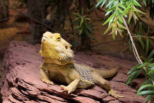 淡黄色蜥蜴图片