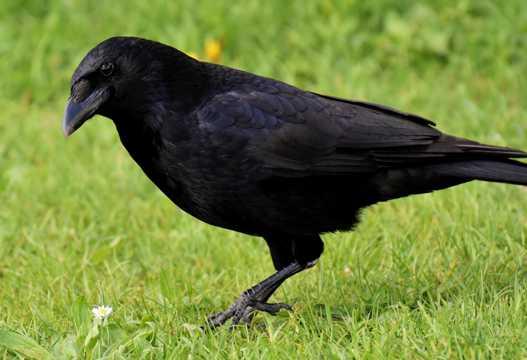羽毛漆黑的乌鸦图片