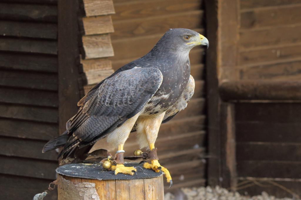 類 猛禽 【生態系の頂点】鷲や鷹などの猛禽類がかっこよすぎる【オーラやばい】