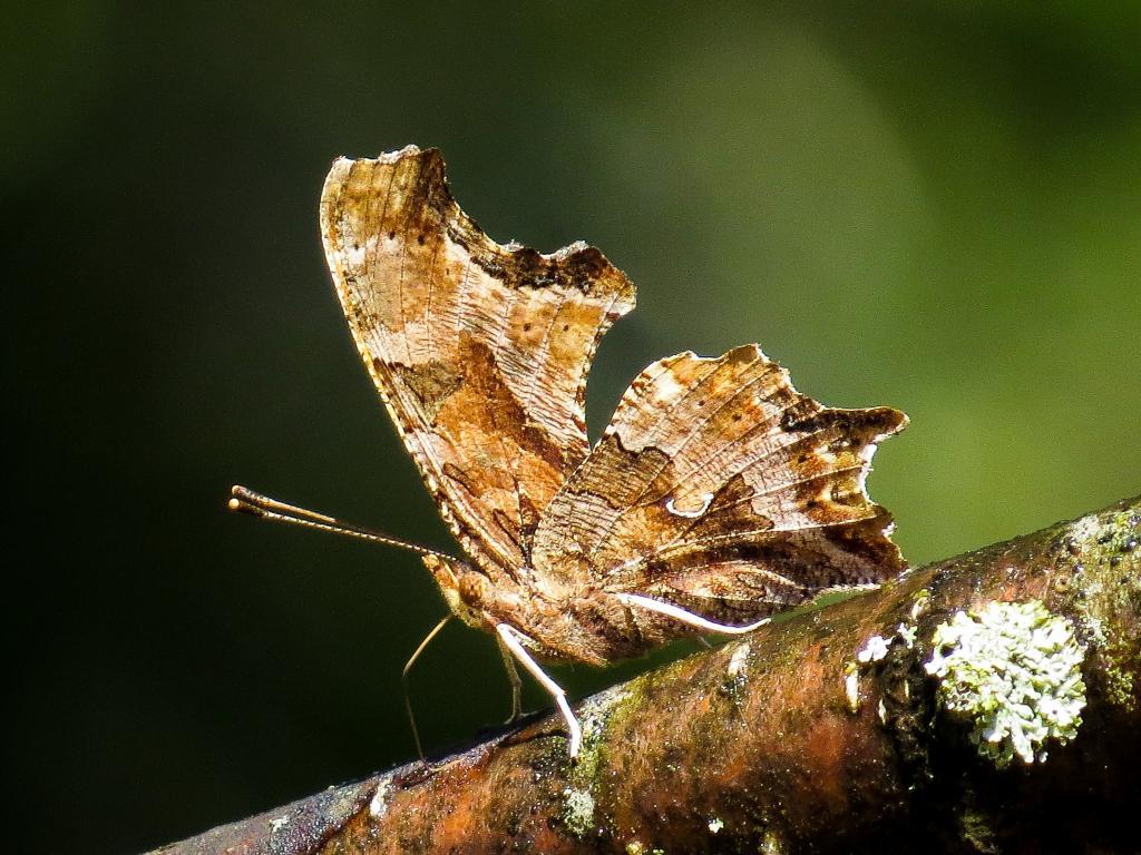 昆虫, 东部逗号, polygonia, 自然, 蝴蝶