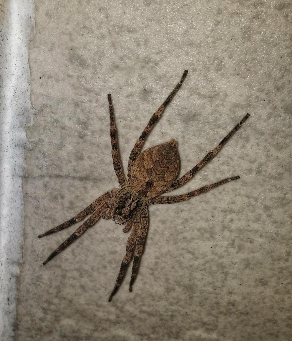 钓鱼蜘蛛, 昆虫, 捕食者