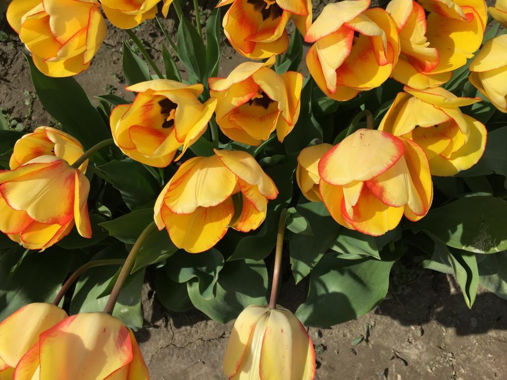 黄色, 郁金香, 郁金香镇, 华盛顿, 美国, 春天, 花