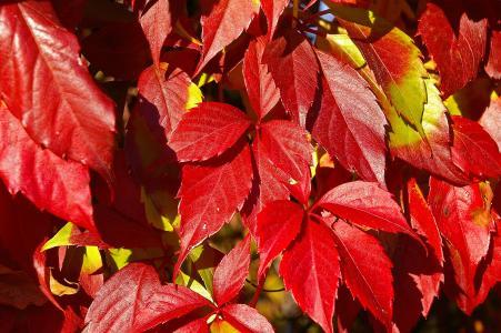 葡萄酒的合作伙伴, 登山者, 秋天, 葡萄种植, 叶子, 红色, 植物