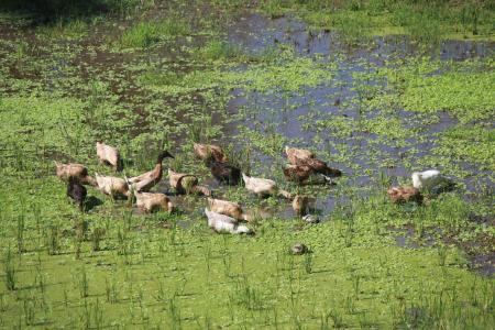 棕鸭, 池塘, 稻田, 自然, 鸟, 动物, 野生动物