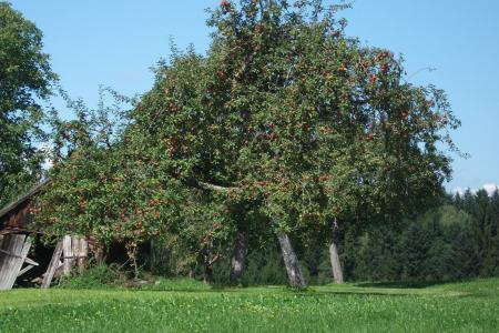 树上苹果, 自然, 浪漫, 树, 苹果, 分公司, kernobstgewaechs