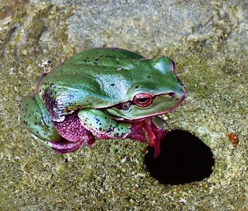 树蛙, 绿色, 自然