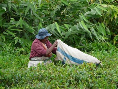 集合, 茶叶, 毛里求斯, 人工林, 绿茶, 灌木丛, 灌木