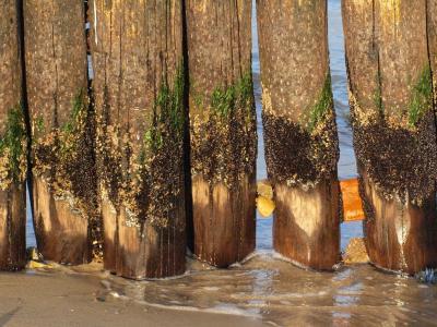 丁坝, 海岸, 波罗地海, 防波堤, 污垢, 杂草丛生, 木头柱子