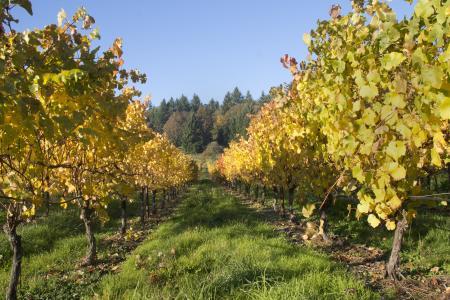葡萄园, 葡萄酒, 俄勒冈州, 葡萄树, 收获, 葡萄, 农业