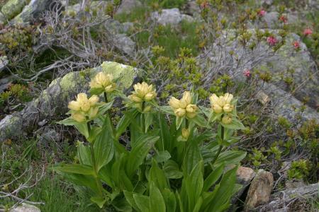 高山花卉, 花, 南蒂罗尔, 白云岩, 山脉, 意大利, 黄色
