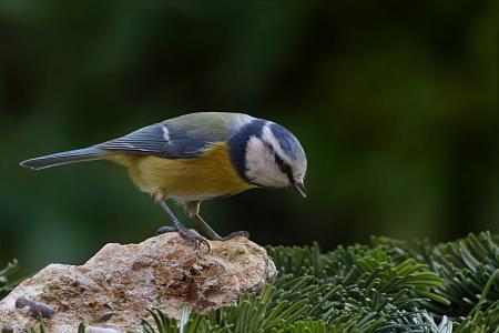 鸟, 山雀, 蓝雀, 蓝山 caeruleus, 觅食, 花园, 一种动物