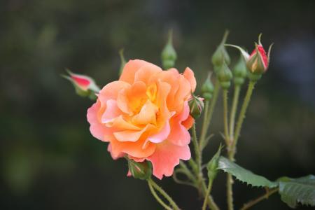 上升, 玫瑰藤, 花, 春天, 自然, 景观, 植物