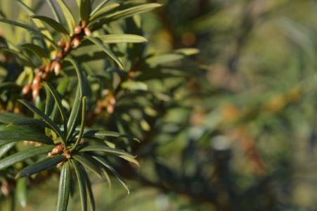 松树, 树, 绿色, 针头