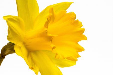 黄水仙, 水仙, 水仙花, ostergloeckchen, 开花时间, 复活节, 不正确的水仙