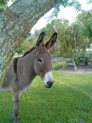 驴, 大, 驴子, 可爱, 灰色, 灰色, 哺乳动物