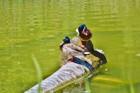 鸭子, 水禽, 鸟, 家禽, 动物, 德雷克, 水
