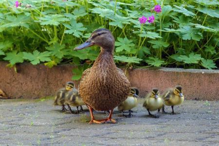 鸭, 鸭子家庭, 小鸡, 鸭妈妈, 鸭子婴孩, 我所有的小鸭, 野鸭
