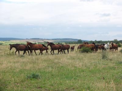 羊群, 马, 马畜群, 集团, 野马, warmblut, warm-blooded 动物