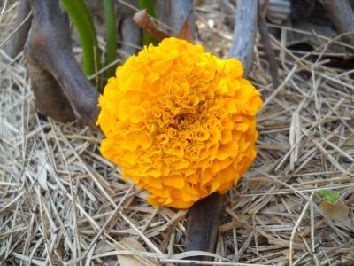 菊花, 花, 黄色, 绽放, 花园, 植物
