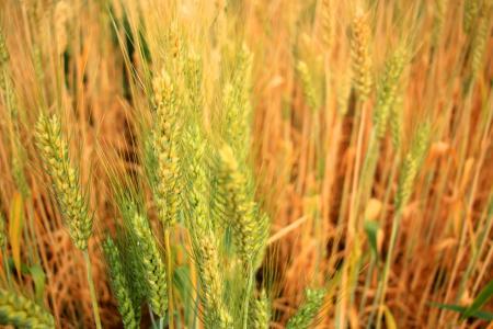大麦, 啤酒, 大米, 农业, 字段, 粮食, 小麦