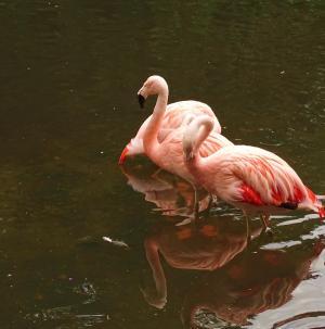 动物, 火烈鸟, 粉色, 动物园, 野生动物摄影, 镜像