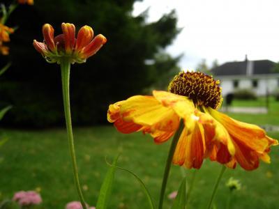 金光菊, 橙色, 花, 花园, 房子, 天空蓝, 草