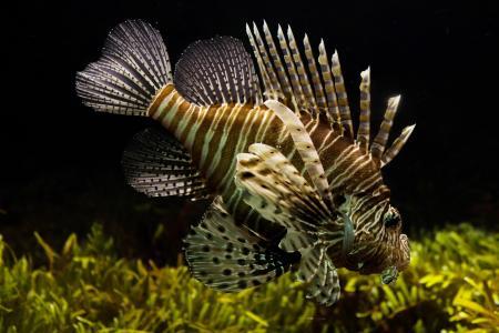 动物, 鱼, 鱼缸, 狮子, 海洋生物, 水下