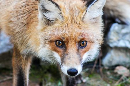 狐狸, 动物的本性, 野兽, 法式土司, állatportré, 动物群, 红狐狸