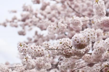 绽放, 开花, 樱花, 植物区系, 花, 春天, 树