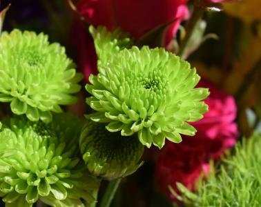 绿色菊花, 菊花, 花, 开花, 绽放, 植物, 绿色